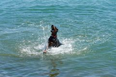 Dog in the sea. Beautiful colors on the coast in the summer evening royalty free stock photo