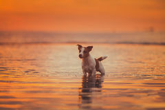 Dog of the sea. Jumping, sunset, fire. Puppy on the water, a red sunset stock photo