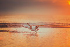 Dog of the sea. Jumping, sunset, fire. Puppy on the water, a red sunset royalty free stock images
