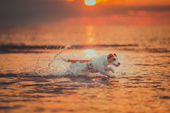 Dog of the sea. Jumping, sunset, fire. Puppy on the water, a red sunset royalty free stock image