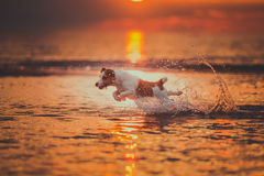 Dog of the sea. Jumping, sunset, fire. Puppy on the water, a red sunset stock photos
