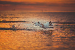 Dog of the sea. Jumping, sunset, fire. Puppy on the water, a red sunset stock images