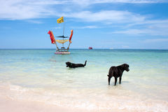 Dog in sea. Dog labrador in the sea Stock Images