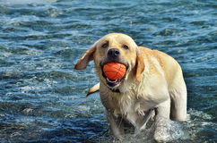 The dog and the sea. Labrador playing with a ball in the sea Royalty Free Stock Images