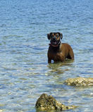 Dog in the Sea with Rocks Stock Image
