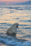 Dog in the sea at sunset Stock Photo