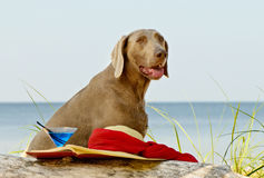 Dog on  seacoast Royalty Free Stock Images