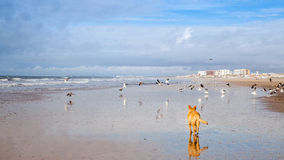 Dog on Seagulls hunting on the beach Stock Photography