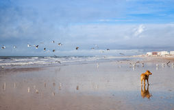 Dog on Seagulls hunting on the beach. Punta Umbria Spain Royalty Free Stock Photo