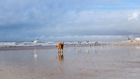 Dog on Seagulls hunting on the beach. Punta Umbria Spain Stock Image