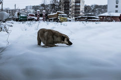 Dog Searching Food In The Snow Stock Photo
