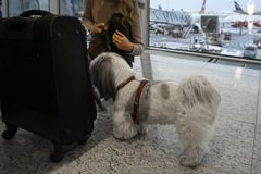 Dog searching a luggage. A small dog searching a luggage in airport, concept of safe travel royalty free stock photo