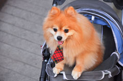 Puppy dog in the seat car with necktie Stock Images