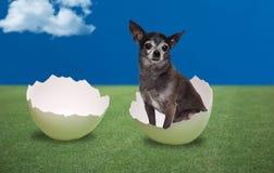 Dog seating inside a cracked egg Stock Images