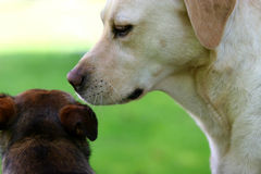 Dog Secrets Royalty Free Stock Images