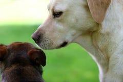 Dog Secrets Royalty Free Stock Images