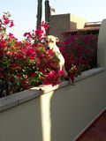 Dog seeking sliver of sunlight on a cold morning. Dog seeking sliver sunlight cold morning warmth pets animals pitbull whippet flowers sunrise mexico guanajuato stock photos