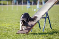 Dog on the seesaw obstacle in agility competition. Dog on the seesaw obstacle on its course in agility competition Royalty Free Stock Photography