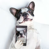 Dog selfie. French bulldog taking a selfie with cell phone camera Royalty Free Stock Photography