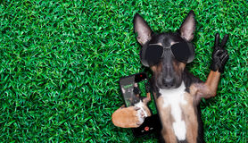 Dog selfie. Dog taking a selfie on a meadow with peace and victory fingers Royalty Free Stock Images