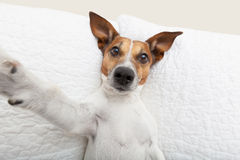 Dog selfie. Dog taking a selfie with a smartphone royalty free stock photography