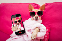 Dog selfie wellness spa. Chihuahua dog relaxing  and lying, in   spa wellness center ,wearing a  bathrobe and funny sunglasses taking a selfie Stock Photos