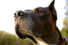 Dog sense of smell Royalty Free Stock Photography