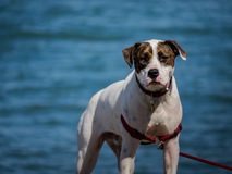 A dog with serious expression. This dog looks very fierce on the beach stock image