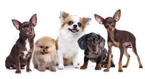 Dog set. Group of small decorative dog companions Royalty Free Stock Images