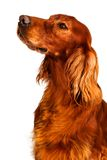 Dog - Setter. A dog setter is sitting royalty free stock photography