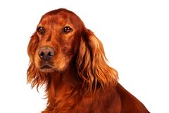 Dog - Setter. A dog setter is sitting royalty free stock images