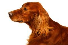 Dog - Setter Stock Image