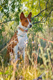 The dog in the shade of grass. Basenji Royalty Free Stock Photography