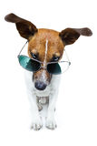 Dog in shades. A dog in geen shades stock photography