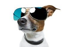 Dog in shades. A dog wearing blue shades stock photo