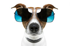Dog in shades Royalty Free Stock Photos