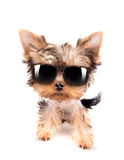 Dog with shades. Baby dog with fashion shades on a white background Royalty Free Stock Images