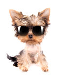 Dog with shades Stock Images