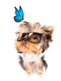 Dog with shades and blue butterfly Stock Photo