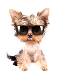 Dog with shades Royalty Free Stock Photos