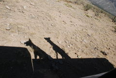 Dog Shadows from a Pickup Truck. Two shadows cast by dogs riding in a pickup truck Royalty Free Stock Image
