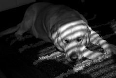 Dog. And shadows from the window Stock Image