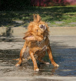 Dog Shake Stock Photography
