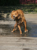 Dog Shake 3. One of a series of images of a dog shaking off after a swim in the lake Royalty Free Stock Photography