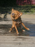 Dog Shake 4. One shot in a series of a puppy shaking off water and splashing anything nearby Stock Images