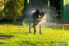 The dog shakes Royalty Free Stock Image