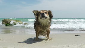 Dog Shakes off Water. Red Dog Shakes off Water on a Sandy Beach stock video