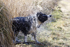 Dog shaking. After swimming in a river royalty free stock photo