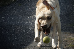 Dog shaking Stock Images