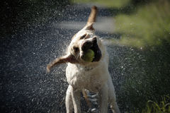Dog shaking Stock Photo